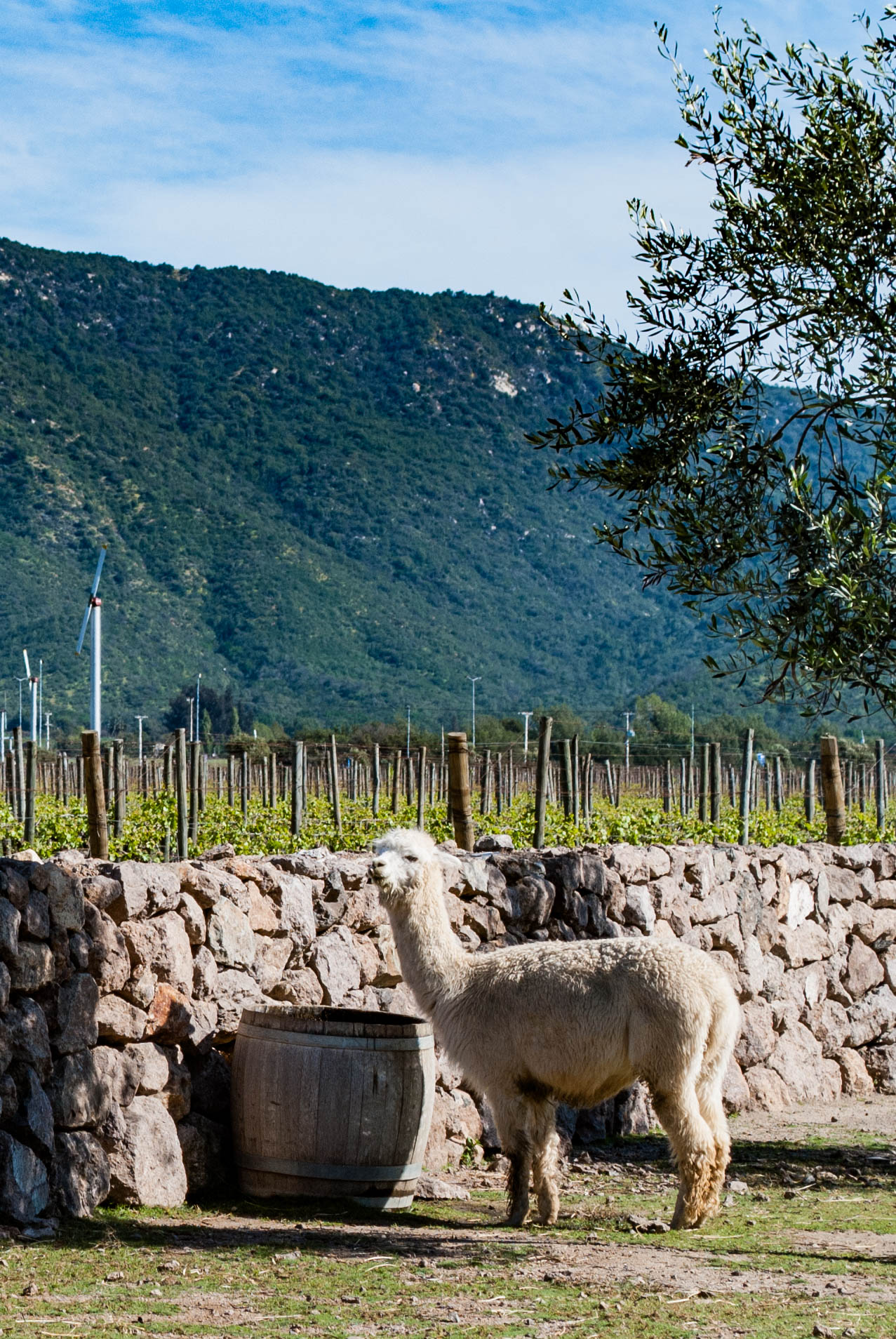 Barrels, Bottles and…Alpacas? Touring Three Casablanca Valley Wineries