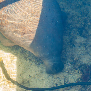 Manatee! Enough Said… John Pennekamp State Park, Key Largo, Florida