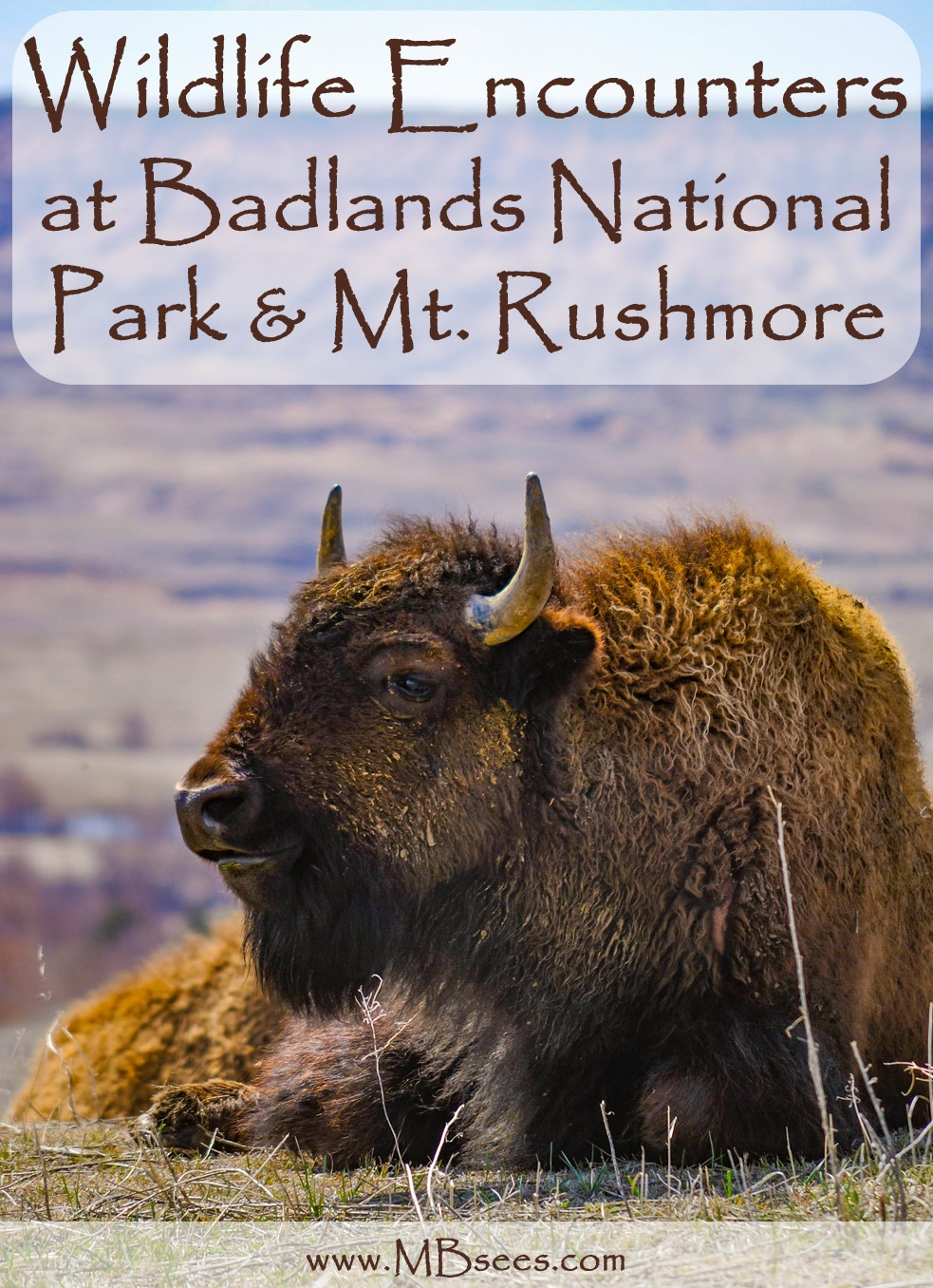 Spend a couple days at Mount Rushmore and Badlands National Park, and you just might see wildlife like mountain goat, bison, bighorn sheep and prairie dogs! Badlands Wildlife | Mount Rushmore Wildlife | South Dakota Wildlife #BadlandsWildlife #MountRushmoreWildlife #SouthDakotaWildlife